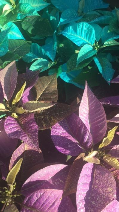 2BD - Georges_Poinsettias - teal putple